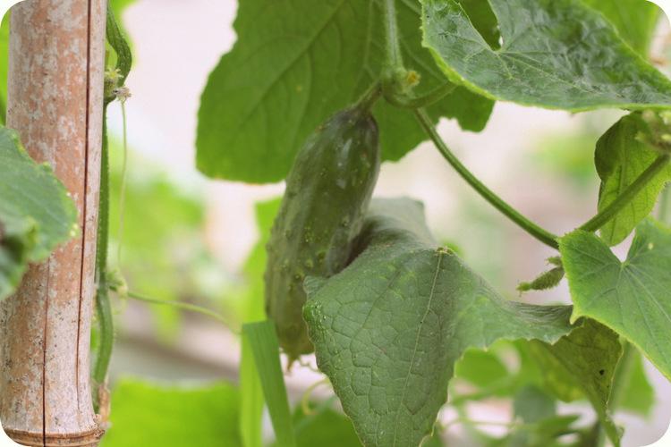lactofermented pickles